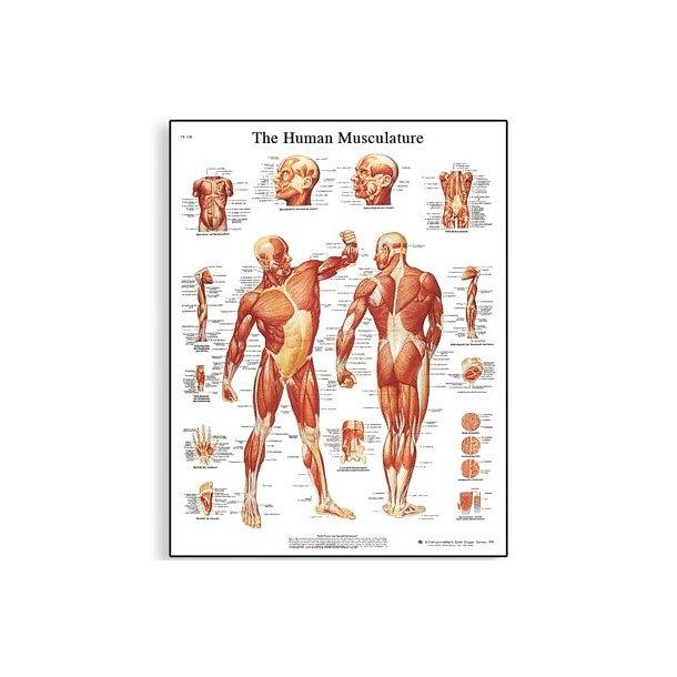 Human Muscle Chart. 50x67 cm. Inkl. plastskinne ophæng.